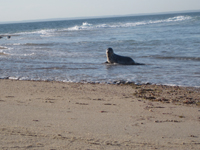 Wanna play? Surprise seal-spotting on the northernmost tip of Block Island in May 2014. Click to view YouTube clip.