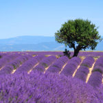 Provence lavender field. PHOTO Shutterstock
