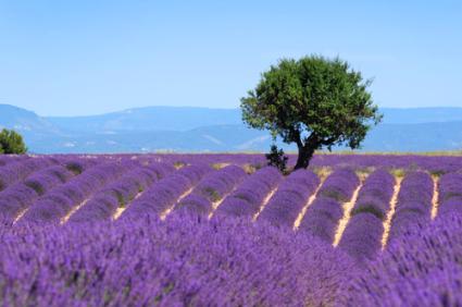 Provence lavender field. PHOTO Shutterstock